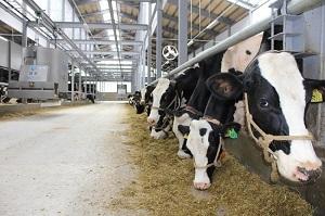 Chăn nuôi bò sữa - đơn hàng Xuất khẩu lao động Nhật Bản có nguồn thu nhập tốt nhất