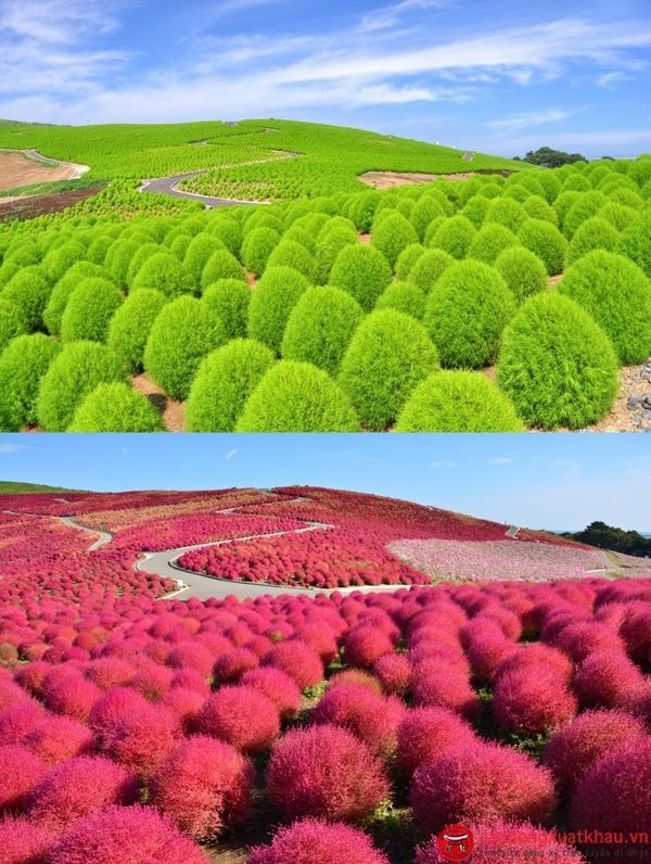 Hoa nemophila-khám phá những điều đặc sắc nhất tại Ibaraki -Nhật Bản