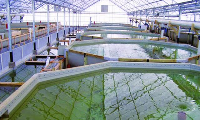 Đơn hàng nuôi trồng sò điệp tại Nhật Bản cần tuyển 5 Nam đi xuất khẩu lao động tại Nhật Bản