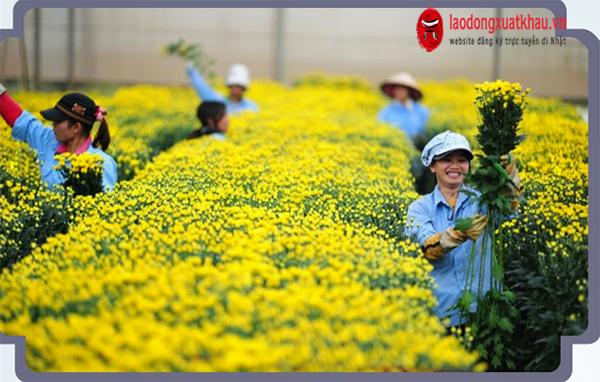 Đơn hàng nông nghiệp XKLĐ Nhật Bản làm thêm nhiều không?