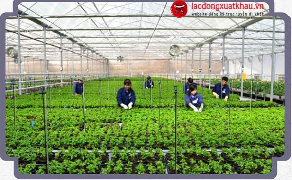 Ai có thể  tham gia chương trình XKLĐ Nhật ngành nông nghiệp?