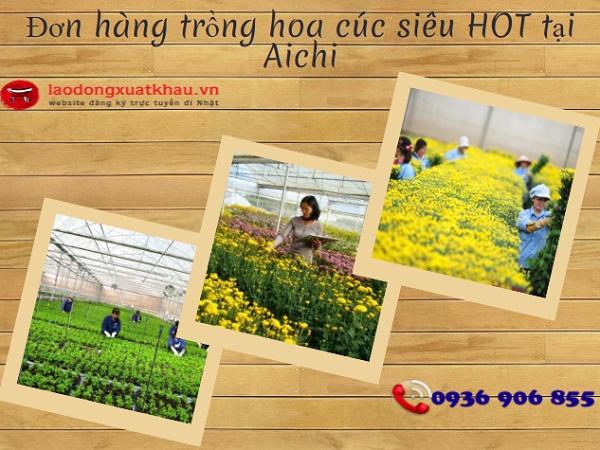 Tuyển 10 lao động nữ trồng hoa cúc tại Aichi tháng 9/2017