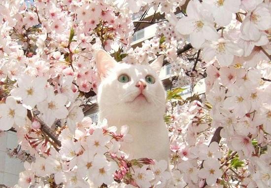 Khám phá: Hoa anh đào nở vào mùa nào?