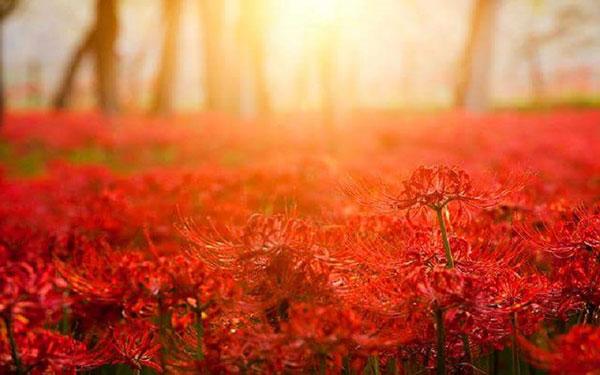 Hoa Bỉ Ngạn - Loài Hoa Tâm Linh Huyền Bí Ở Nhật Bản