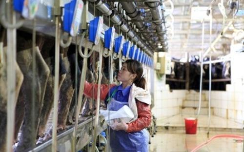 10 Nữ Vắt sữa bò tại Aichi tháng 12/2015