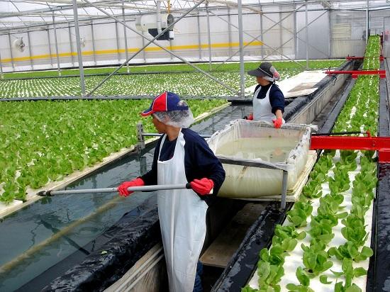 Tuyển 20 Nam/ Nữ trồng rau trong nhà kính tại Nhật Bản tháng 07/2020