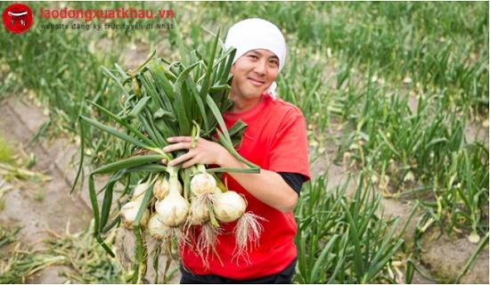 Đơn hàng nông nghiệp trồng hành tại Nagano cần gấp 18 nam lao động