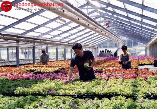 Tuyển 36 Nam/nữ trồng hoa trong nhà kính tại tỉnh Okayama