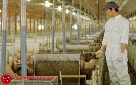 Đơn hàng tại Chiba Nhật Bản: tuyển gấp 24 nam chăn nuôi lợn