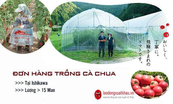 Thông báo đơn hàng trồng cà chua LƯƠNG CAO tại Ishikawa THÁNG 01/2021