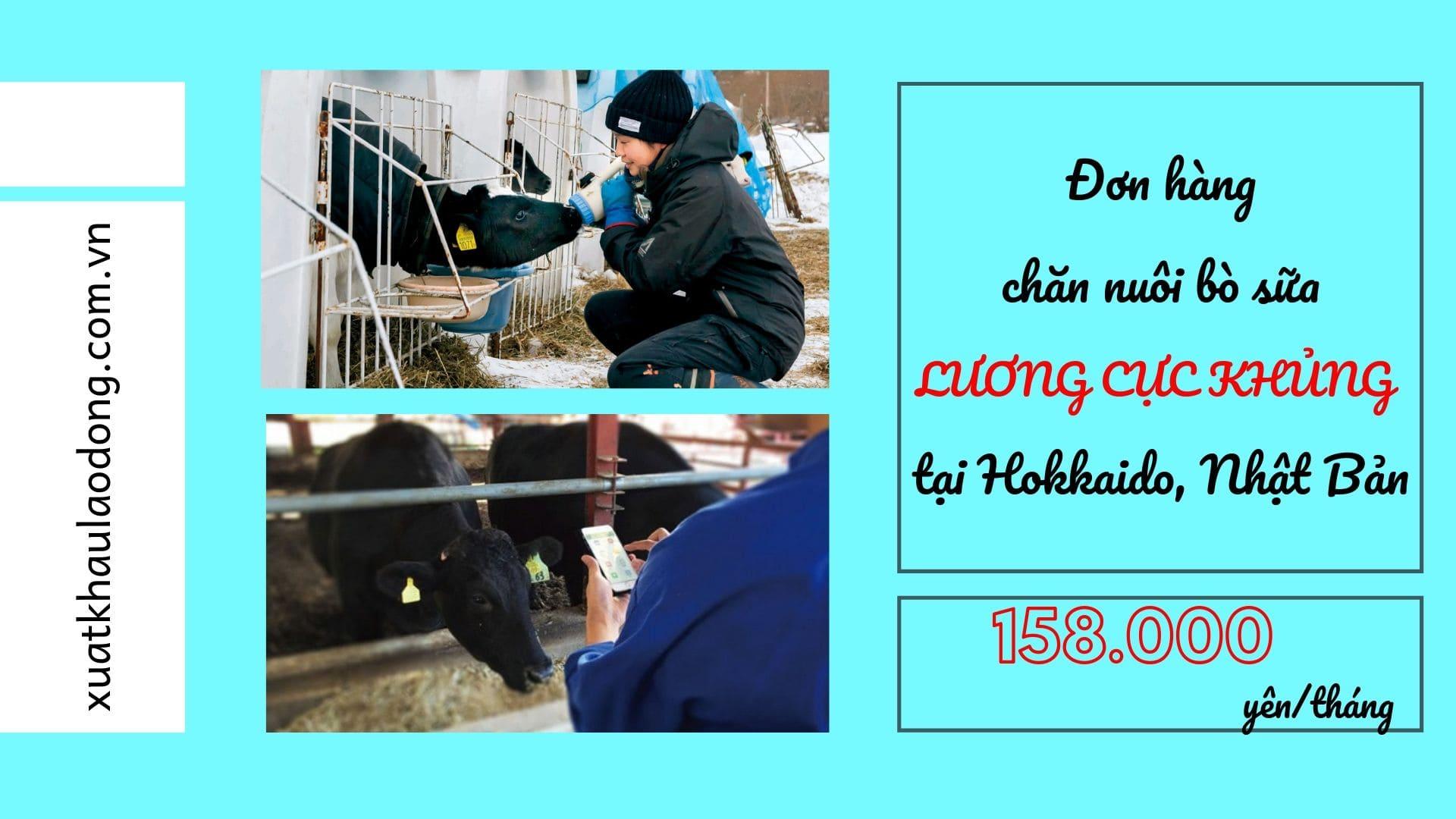 Đơn hàng chăn nuôi bò sữa LƯƠNG CỰC KHỦNG tại Hokkaido, Nhật Bản