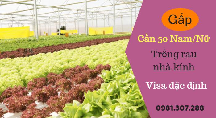 Tuyển 50 Nam/Nữ trồng rau nhà kính visa đặc định bay sớm sau 2 tháng